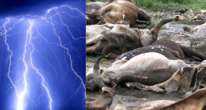 Thunder strike kills cows