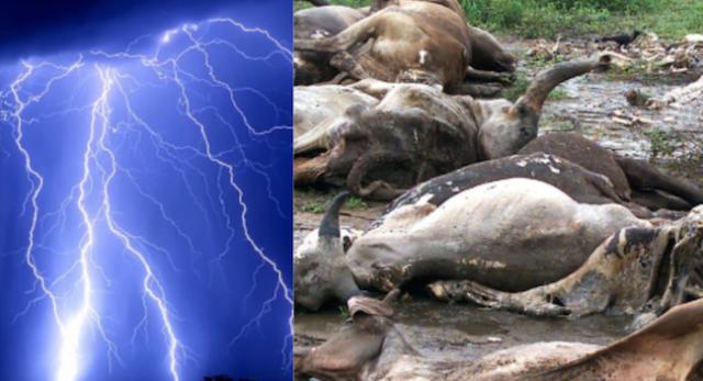 Thunder strike kills cows